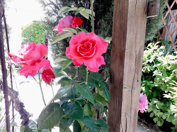 роза в частном доме отдыха у натали любимовка севастополь
