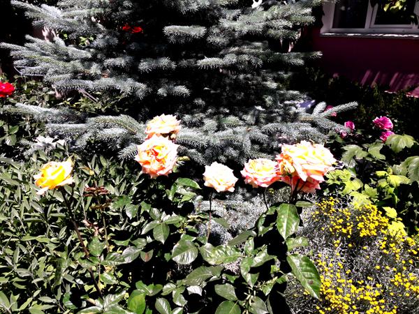 Гостевой дом У Натали - Крым Любимовка розы во дворе
